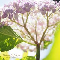 *紫陽花の木* - HANA*HANA