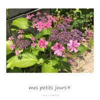 庭の紫陽花 - 小さな日々*