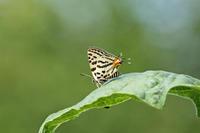 キマダラルリツバメ   兵庫県での出会い - 蝶のいる風景blog