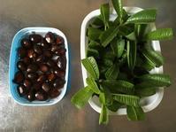 レモンバーベナの挿し木と枇杷の種 - いととはり