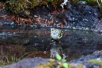 キクイタダキの水浴び - 武蔵野の野鳥
