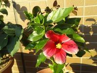 ハイビスカスが咲きました - うららフェルトライフ