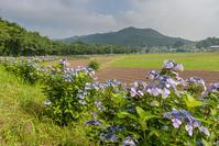 紫陽花 - デジカメ写真集