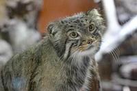 マヌルネコ「ナイマ」~猫草はいらナイマ - 続々・動物園ありマス。