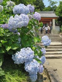 あるく奈良-42 [矢田寺の紫陽花] - 続・感性の時代屋