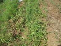 """ジャガイモの収穫..暑いです。 - 〔家庭菜園日記〕 """"すろーらいふ"""" 茅ケ崎のはまちゃん. 野菜つくり"""