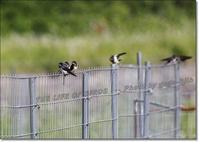 燕の旋回能力が、佐々木小次郎 「 燕返し 」 をあみ出す - THE LIFE OF BIRDS --- 野鳥つれづれ記