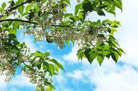 初夏の花 ~エゴノキ~ - 但馬・写真日和