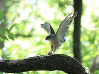 続・ツミの餌渡し - 『彩の国ピンボケ野鳥写真館』