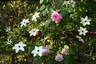 5月20日 バラまつり初日の我が家の薔薇1 - Reon&Roses+Lara