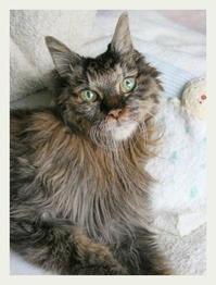 ご長寿猫 はんぞう との暮らし 「5月26日~5月31日の はんぞう」 - たびねこ