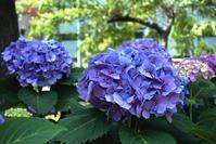上野の山にアジサイが咲く--2017 - くにちゃん3@撮影散歩