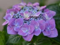 紫陽花 - 南都☆花模様