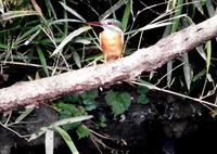 カワセミの♂と♀ - 西多摩探鳥散歩
