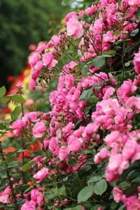 市川市動植物園のバラ園☆バラの香りに癒されて 1 - Let's Enjoy Everyday!
