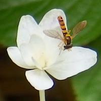 『装飾花 と 花虻』 - 自然感察 *Nature * feeling*