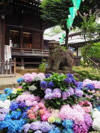 白山神社のあじさい - ひつじのつぶやき