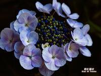 紫陽花物語 - 君に届け
