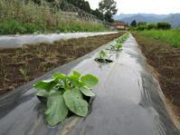 定植 ツルムラサキ、ハーブ - 南阿蘇 手づくり農園 菜の風