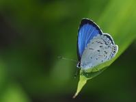 ヤクシマルリシジミ - 風の翅