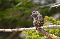 峠のホシガラス - 武蔵野の野鳥