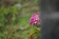 お隣の紫陽花 - きょうから あしたへ その2