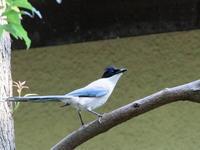 ツミに付き物 オナガさん  SYK - シエロの鳥ノート