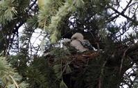 2017 ツミの雛が孵ったとの事で出かけて来ました。 - 私の鳥撮り散歩