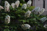 ほっぺ - CHIROのお庭しごと