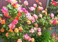 プリでもなく、デコストーンでもないホンモノの薔薇🌹 - 軽井沢プリフラdiary