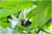 Wake up♯552 栗の木の物語 コガタスズメバチの狩り 2017 - Faunas & Floras  Phase2