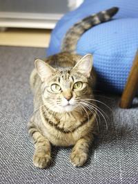 猫のお留守番 琥珀ちゃん編。 - ゆきねこ猫家族