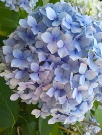 あじさい~BLUE~ - Strike while the iron is hot.