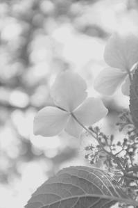 王子公園でみつけた紫陽花 - あなた天使ちゃん ワタシ悪魔っち