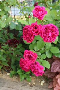カタログ落ち?ウィリアムシェークスピア2000*お礼肥 - my small garden~sugar plum~