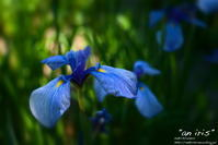 """an iris"" - ~まきち写真工房~"