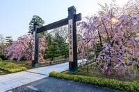 京都の桜2017 智積院の枝垂れ桜 - 花景色-K.W.C. PhotoBlog