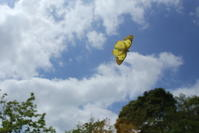 真昼の蝶たち:飛んで、飛んで、飛んで(千葉県松戸市、20170617) - Butterfly & Dragonfly