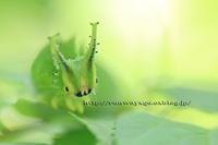 オオムラサキ(大紫、Sasakia charonda )日本の国蝶 幼虫 森の妖精 - イチガンの花道