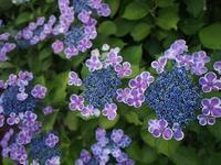 紫陽花のおまじない - WONDERLAND Aromatherapy Healing