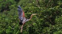 ムラサキサギの飛翔 - Life with Birds 3