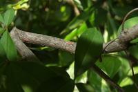 ■ 名残のゼフ 3種   17.6.17   (ウラゴマダラシジミ、ミドリシジミ、ウラナミアカシジミ) - 舞岡公園の自然2