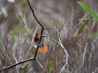 この辺で・・・コマドリ④(尾羽編) - 鳥見んGOO!(とりみんぐー!)野鳥との出逢い