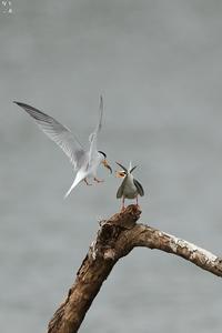ふられたコアジサシ - 野鳥公園