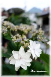 母の日の紫陽花?・・・ 父の日のプレゼント - 日々楽しく ♪mon bonheur