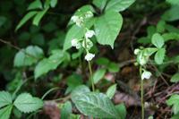 夏至(6/21~7/6)のころ、宮迫で咲く花 - 宮迫の! ようこそヤマボウシの森へ