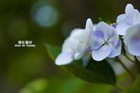 紫陽花物語 Vol.02 - 君に届け