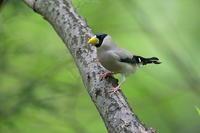 久しぶりのイカル - 上州自然散策2