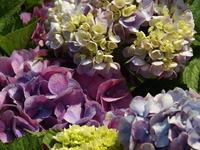 紫陽花 - CATCH THE WIND