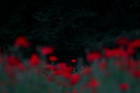 赤いポピー - Today's one photograph